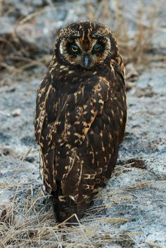 Galapagos Short-eared Owl by Dave 2x xox
