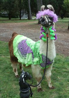 My llama Twist modeling the hot green and purple butterfly llama costume that I made.