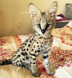Serval & # cleo-for & # - Cat Breeds Pretty Cats, Beautiful Cats, Animals Beautiful, Kittens Cutest, Cats And Kittens, Cute Cats, Siamese Cats, Warrior Cats, Serval Kitten