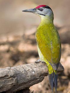 Grey-headed Woodpecker, Picus canus | (c) Gary Kinard, www.birdsthatfart.com