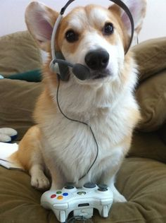 Headsets. | 26 Things That You're Forced To Wear When You're A Corgi