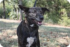 Conway, AR - Shepherd (Unknown Type) Mix. Meet Abby, a dog for adoption. http://www.adoptapet.com/pet/11552366-conway-arkansas-shepherd-unknown-type-mix