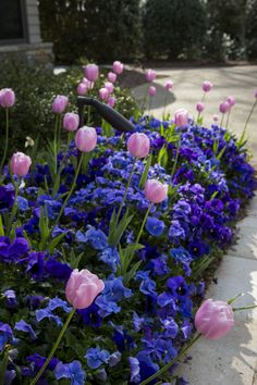 Pretty in Pink Tulips with purple and blue pansies to make them pop!