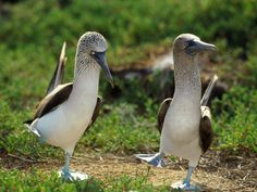 Do ALL Blue Footed Boobies dance?