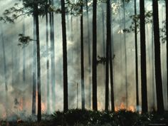 Tree Trunks Wreathed in Smoke from a Forest Fire Prints - Movie ...