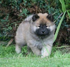 Eurasier pup!