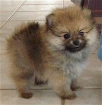 sable pomeranian - Google Search