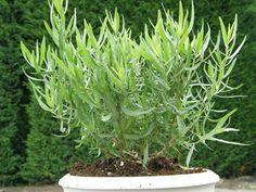Herbs, Backyard, Dragon, Vegetables, Health, Flowers, Plants, Gardening, Google