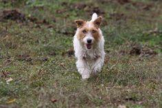 Jack Russell Terrier#dogs#Tess (Jack Beauty kennel)