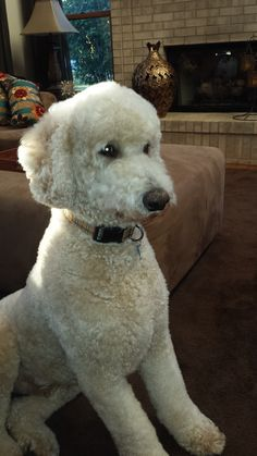 A typical Standard Poodle Puppy...attentive, curious, intelligent....The Best!