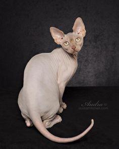 #Nadasphynx #Hairless #sphynx #Kitten #cat