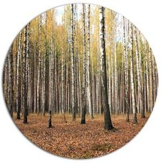 """DesignArt 'Beautiful Birch Forest Photography' Photographic Print on Metal Size: 38"""" H x 38"""" W x 1"""" D"""