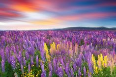 Land of Lupines by Nagesh Mahadev, via 500px