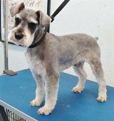 Ranked as one of the most popular dog breeds in the world, the Miniature Schnauzer is a cute little square faced furry coat. Schnauzer Cut, Schnauzer Breed, Schnauzer Grooming, Standard Schnauzer, Miniature Schnauzer Puppies, Pet Grooming, Dog Grooming Styles, Dog Haircuts, Puppy Cut