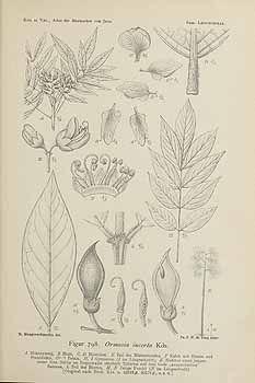 Rare flora : Ormosia Penangensis