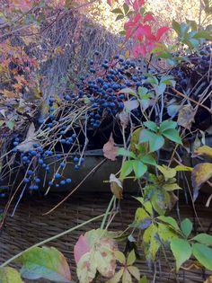 Wild grapes Grape Vines, Vineyard, My Photos, Healthy, Plants, Vineyard Vines, Vine Yard, Plant, Health