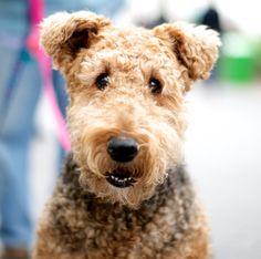 Cadbury the Airedale Terrier. Teddy bear face!