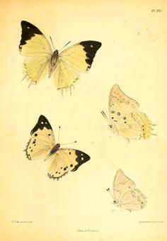 Lepidoptera Indica, ca. 1890-1898. Fredric Moore; Charles Swinhoe.