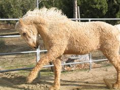 A Curly is a breed of horse. Curlies, also called Bashkir Curlies, American Bashkir Curlies, and North American Curly Horses, come in all sizes, colors, and body types but all carry a gene for a unique curly coat of hair. The Curlies are known for their calm, intelligent and friendly personality. They show an easily trainable temperament. They are also known for having a tough constitution and great stamina. <3 and they're darn cute!!!!!!!