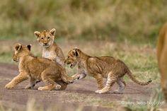 Christine et Michel Denis Huot photographes animaliers – Lion cubs at play, Masai-Mara Reserve, Kenya