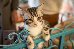 I Love Cats, Crazy Cats, Cool Cats, Crazy Cat Pictures, Silver Tabby Cat, American Wirehair, Cat Behavior, Cat Sitting, Cat Day