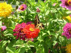 Zinnias | Zinnias with Butterfly