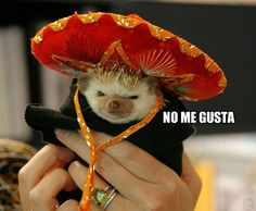 Funny pictures about Just a hedgehog in a sombrero. Oh, and cool pics about Just a hedgehog in a sombrero. Also, Just a hedgehog in a sombrero. Baby Animals, Funny Animals, Cute Animals, Baby Cats, Cute Hedgehog, Smosh, Pet Costumes, Animals In Costumes, Animal Pictures