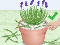 How to Plant Lavender in Pots. Lavender plants are beautiful and fragrant plants that thrive in warm dry climates. Not all climates are great for them, so sometimes they need a little extra care to grow well and produce the blossoms you. Indoor Lavender Plant, Lavender Planters, Lavender Plant Care, Potted Lavender, Lavender Flowers, Planting Lavender Outdoors, Growing Lavender Indoors, Lavander, Lavender Fields