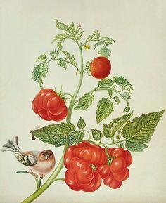 Maria Sibylla Merian  Botanical from Leningrad Watercolours  Late 17th - early 18th century