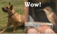 GOD BLESS!!!!!!  Dangerous Dog Rescues Helpless Hummingbird in Grass -  Truly amazing and heartwarming story!