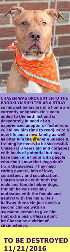 MURDERED 11/21/2016 --- Brooklyn Center My name is CHASEN. My Animal ID # is A1096730. I am a male tan and white am pit bull ter mix. The shelter thinks I am about 3 YEARS old. I came in the shelter as a STRAY on 11/13/2016 from NY 11232, owner surrender reason stated was STRAY. http://nycdogs.urgentpodr.org/chasen-a1096730/