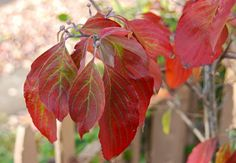 Pretty dogwood leaves, native Cornus florida ~WMG blog