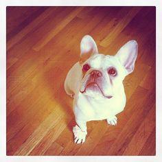 a french bulldog!