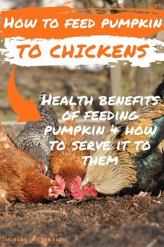 Is it safe for chickens to eat pumpkin? Can you feed it whole, or do you have to cut it up? Pumpkin is full of vitamins and fiber which is great for your flock of backyard chickens. How to prepare and serve pumkin seeds, pulp and even the rind to chickens. It's free chicken feed! Chicken Eating, Chicken Feed, Canned Chicken, Free Chickens, Raising Chickens, Chickens Backyard, What Can Chickens Eat, Pumkin Seeds, Chicken Pumpkin