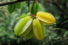 Personne personne mouais ;)...  LA CARAMBOLE /// La carambole est un fruit acide! La carambole qui est aussi connue pour être la pomme de Goa vient d'Asie. Mais on trouve aujourd'hui son arbre, le carambolier, en Amérique du Sud, en Australie, en Israël et aux Indes. La forme de ce fruit et son aspect nous interpelle : légèrement translucide, jaune, cireux. Sa chair est croquante et acide. Elle décore très agréablement vos assiettes avec sa forme d'étoile et leur apporte de la fraîcheur!