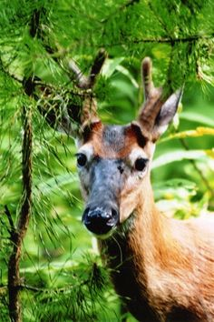 Deer in the Smoky Mountains.