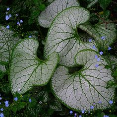 Brunnera Macrophylla 'Jack Frost':  This woodland plant is valued for its flowers and its heart-shaped, ground-covering leaves. Its small blue flowers go nicely with ephemeral bulbs in mid- to late spring,  as the enlarging leaves block out the ripening bulb foliage. 'Jack Frost' can take dry summers and wet winters. This cultivar is prized for its improved tolerance of heat and sun.