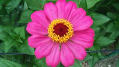 #flower #pink A deep pink hue,with an eye of yellow. Have a happy Sunday…