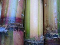 Sugar cane West Indian, Simple Pleasures, Childhood Memories, Exotic, Sugar, Island, Cabo, Jamaica, Roots