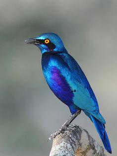 Greater Blue-eared Glossy Starling - (CC)Isidro Vila Verde (jvverde) - www.flickr.com/photos/jvverde/8399458307/in/photostream