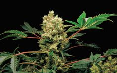 Grow Q&A: Can I Start A Motherplant From Feminized Pot Seeds | High Times