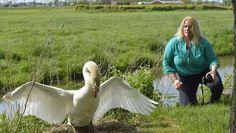 dierenarts zwanen - Met gevaar voor eigen leven zet Saskia van Rooy uit Stolwijk zich in voor het welzijn van wilde zwanen. 'Ik kan het niet aanzien dat zwanendrifters ze illegaal vangen en verminken. Iemand moet dit aan de kaak stellen.'