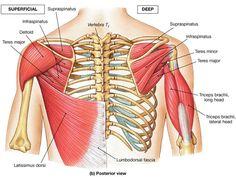Rotator cuff muscles. Unidad Especializada en Ortopedia y Traumatologia www.unidadortopedia.com PBX: 6923370 Bogotá, Colombia.