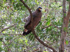 Crested serpent eagles are easy to spot in Wilpattu National Park, Sri Lanka. Sri Lanka, Eagles, Bald Eagle, National Parks, Easy, Animals, Eagle, Animaux, Animal