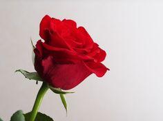Punainen ruusu 3.