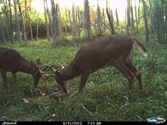 These South Dakota bucks are getting busy!