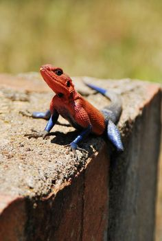 Hello, spiderman!!  The Mwanza Flat-headed Agama is a lizard found in Tanzania, Rwanda, and Kenya. The lizard has an uncanny resemblance to the Marvel superhero Spiderman.  The head, neck and shoulders of the Mwanza Flat-headed Rock Agama is either a bright violet or red, while the rest of their bodies are a deep blue color. Almost fittingly, this delightful color combination is specific only to the male population of the species. The females of this Agama species are dull brown.