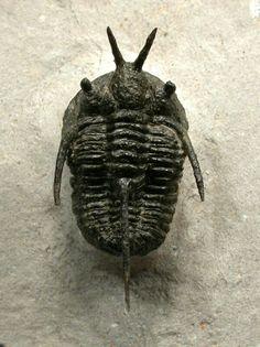 Cyphaspis sp. Moroccan Trilobite Devil's Horn Variety Devonian Order Proetida,  Family Otarionidae Lamrakeb, Alnif