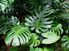Seeds are available - Monstera Deliciosa - Fruit Salad Plant Split leaf Rare Plants, Exotic Plants, Tropical Plants, Monstera Deliciosa, Unusual Flowers, Rare Flowers, Gerbera, Tropical Greenhouses, Cheese Plant