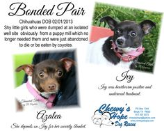 Chihuahua dog for Adoption in Decatur, TX. ADN-531252 on PuppyFinder.com Gender: Female. Age: Adult